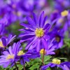 Anemone: a jewel of great impact