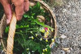 Spontaneous herbs: recognizing and tasting them